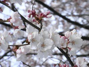 儀明川の桜